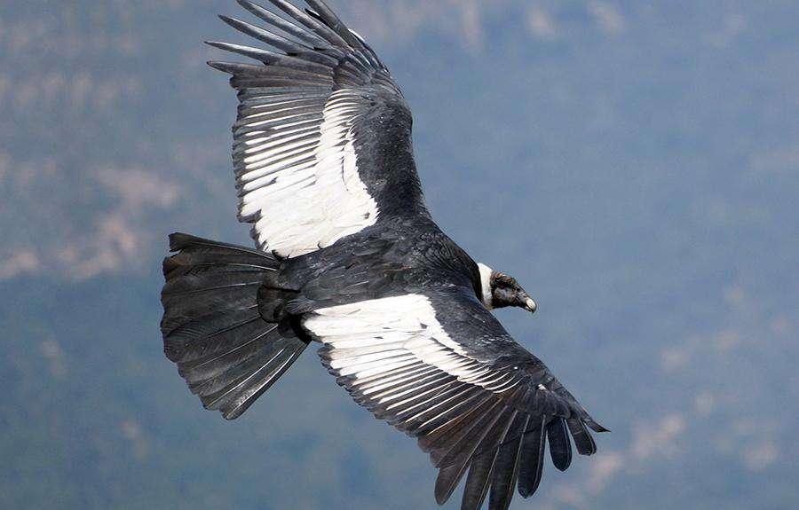 En Yüksekte Uçan Kuşar And Kondoru
