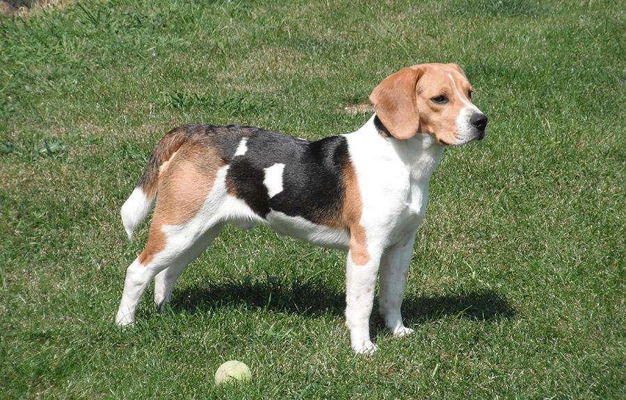 En İyi Koku Alan Köpekler Beagle