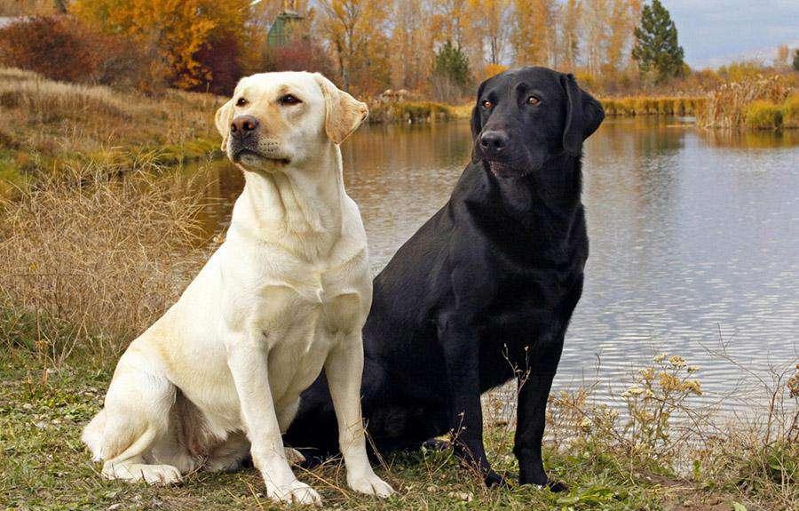 En İyi Koku Alan Köpekler Labrador Retriever