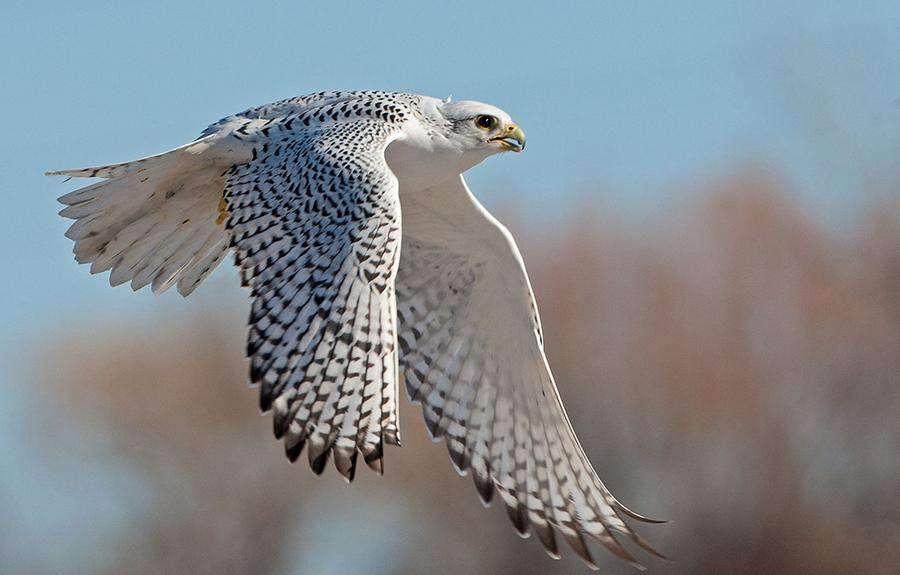 Dünyanın En Hızlı Kuşları Ak Sungur