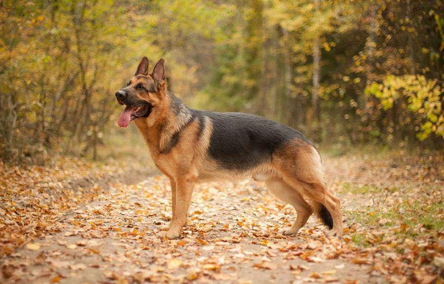 En İyi Koku Alan Köpekler Alman Çoban Köpeği