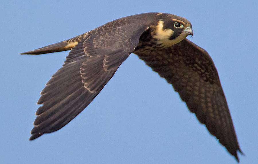Dünyanın En Hızlı Kuşları Delice Doğan