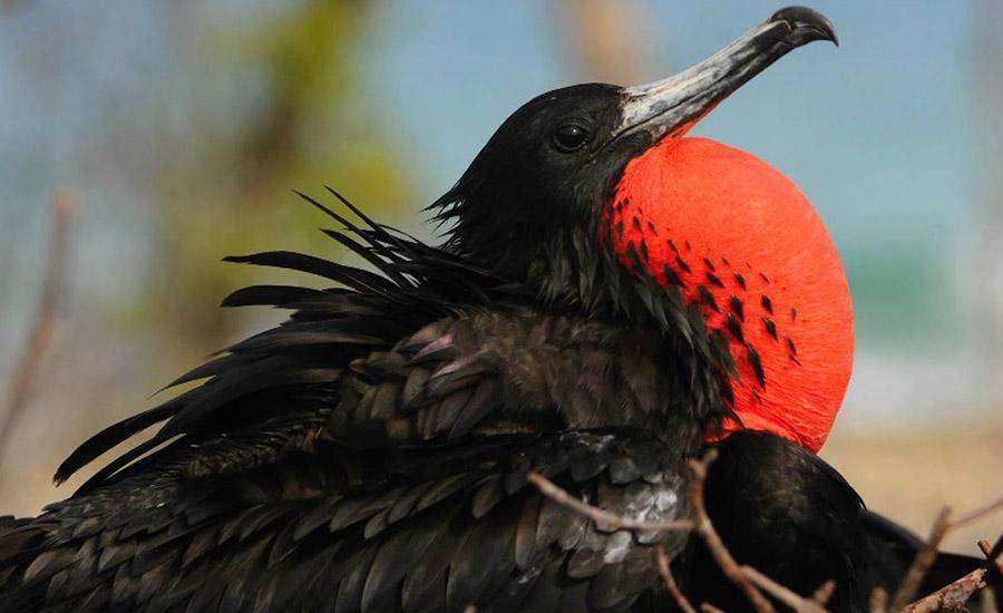 Dünyanın En Hızlı Kuşları Fregat Kuşu