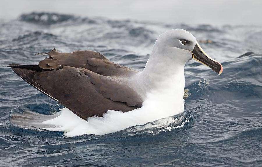 Dünyanın En Hızlı Kuşları Gri Başlı Albatros