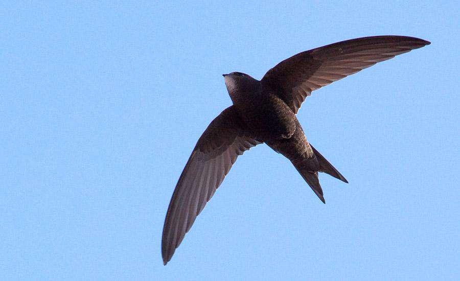 Dünyanın En Hızlı Kuşları İğne Kuyruklu Swift