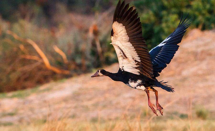 Dünyanın En Hızlı Kuşları Mahmuzlu Kaz