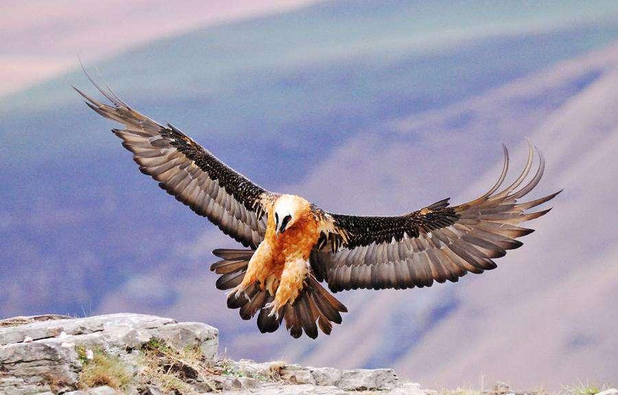 En Yüksekte Uçan Kuşar Sakallı Akbaba