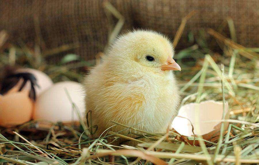 Tavuk mu Yumurtadan, Yumurta mı Tavuktan Çıkar