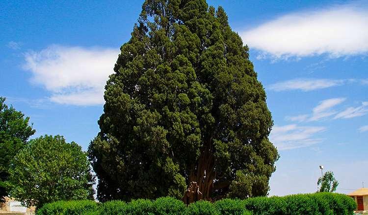 Akdeniz Selvi Ağacı / Abarkuh