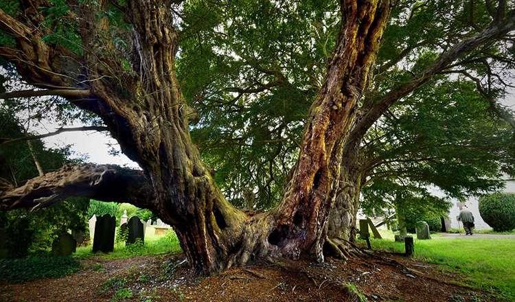 Porsuk Ağacı / Llangernyw Yew