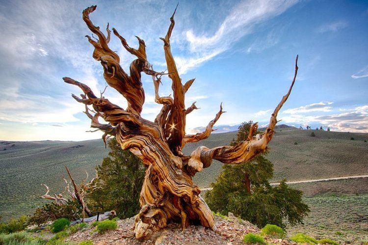 Çam Ağacı / Methuselah