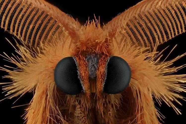 Sarı Gündüz Kelebeği